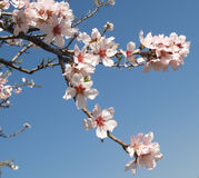 Fleurs d'arbre d'amande images libres de droits