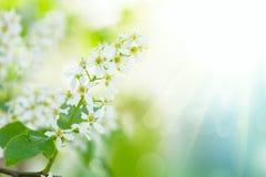 fleurs d'arbre d'Oiseau-cerise Photo libre de droits