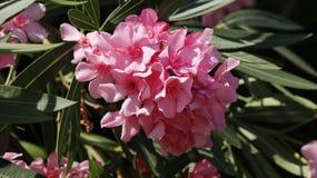 Fleurs d'arbre d'oléandre de Nerium Photo stock
