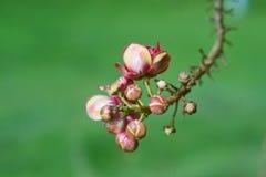 Fleurs d'arbre de boule de Sala ou de canon Images stock