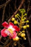 Fleurs d'arbre de boulet de canon Photo stock