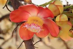 Fleurs d'arbre de boulet de canon Images libres de droits