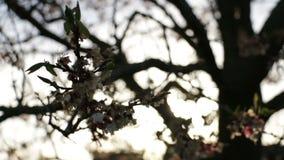 Fleurs d'arbre de branche de Sun banque de vidéos