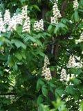 Fleurs d'arbre de châtaigne Images stock