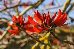 Fleurs d'arbre de corail Image stock
