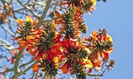 Fleurs d'arbre de corail en premier ressort photographie stock libre de droits