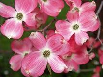 Fleurs d'arbre de cornouiller Image libre de droits