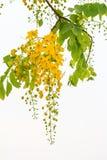 Fleurs d'arbre de douche d'or images libres de droits