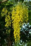 Fleurs d'arbre de douche d'or image stock