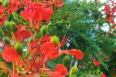 Fleurs d'arbre de flamme Image stock