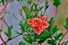 Fleurs d'arbre de grenade avec les fleurs lumineuses de rose et blanches photos libres de droits