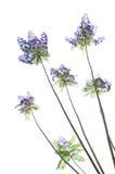 Fleurs d'arbre de Jacaranda Image libre de droits