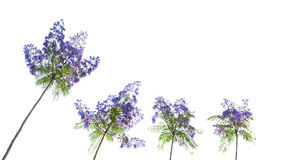 Fleurs d'arbre de Jacaranda Photo stock