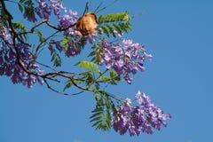 Fleurs d'arbre de Jacaranda et cosse de graine images libres de droits