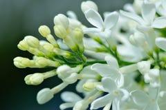 Fleurs d'arbre de Lillac Image stock