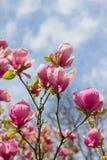 Fleurs d'arbre de magnolia au-dessus de ciel bleu Image stock