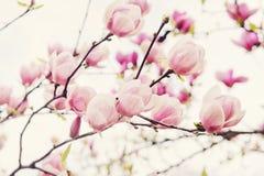 Fleurs d'arbre de magnolia dans le printemps Image stock