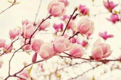 Fleurs d'arbre de magnolia dans le printemps Image libre de droits