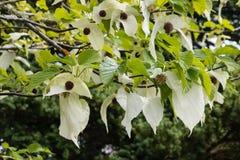 Fleurs d'arbre de mouchoir Images libres de droits