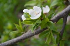 Fleurs d'arbre de ressort Photographie stock libre de droits