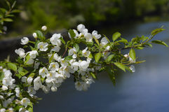 Fleurs d'arbre de ressort dans Maine Images stock