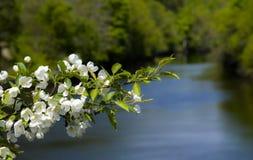 Fleurs d'arbre de ressort dans Maine Photos stock