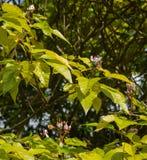 Fleurs d'arbre de rouge à lèvres (orellana de Bixa) Photos stock