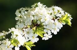Fleurs d'arbre de source Photo stock