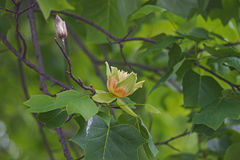 Fleurs d'arbre de tulipe Photos libres de droits