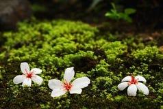 Fleurs d'arbre de tung photos libres de droits