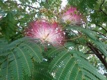 Fleurs d'arbre en soie - plan rapproché de julibrissin d'Albizia Photographie stock libre de droits