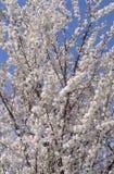 Fleurs d'arbre fruitier de source Photographie stock