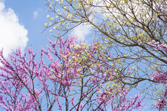 Fleurs d'arbres et de cornouillers de Redbloom contre un ciel bleu clair. images stock
