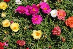 Fleurs d'arc-en-ciel Images stock