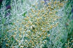 Fleurs d'armoise Image libre de droits