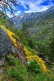 Fleurs d'arnica ou d'Arrowleaf Balsamroot en montagnes photographie stock