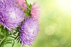 Fleurs d'aster Photographie stock libre de droits