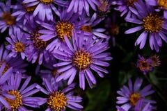 Fleurs d'aster Photos libres de droits