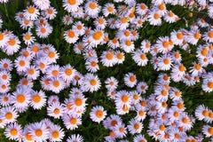 Fleurs d'aster de Yun-Nan Images stock