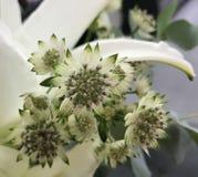 Fleurs d'Astrantia Photographie stock libre de droits