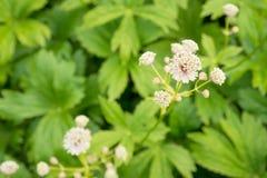 Fleurs d'Astrantia Image stock