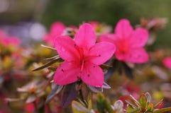 Fleurs d'Attractives de couleur rose - vues de face Image stock