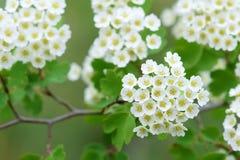 Fleurs d'aubépine Photos stock
