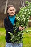Fleurs d'aubépine de cueillette de dame âgée Photographie stock