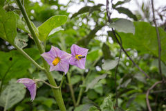 Fleurs d'aubergine Image stock