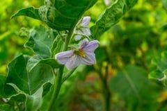 Fleurs d'aubergine Photographie stock