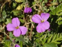 Fleurs d'Aubretia Images stock