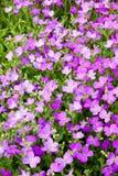Fleurs d'Aubrieta Image stock