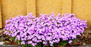 Fleurs d'Aubrieta Photo libre de droits