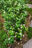 Fleurs d'Auriculatum de Jasminum photographie stock